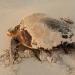 Ejemplar de tortuga boba (Caretta caretta) / CSIC
