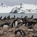 Colonia de pingüino papúa (Pyoscelis papua) en la península de Byers, una de las localidades incluidas en el estudio. / Andrés Barbosa (MNCN-CSIC)
